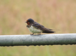 Swallow 2011-06-25