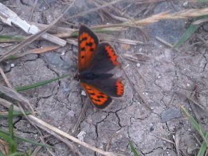 Small copper seen on bridle path near Crowmarsh, Oxfordshire