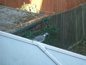 Wood pigeon in Reading