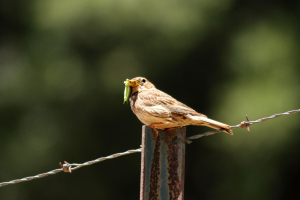 Corn Bunting eating insect