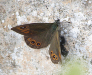 Small Croatian Butterfly