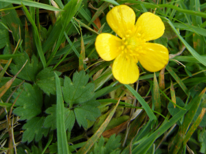 Creeping Buttercup?