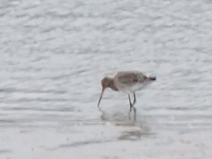 Black-tailed Godwit???