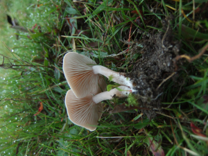 Clitocybe dealbata???