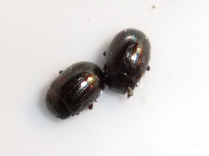 Rosemary beetles?