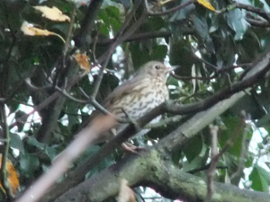 Song or Mistle Thrush