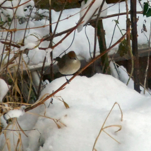 Female Blackcap?