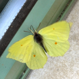 Brimstone in the conservatory