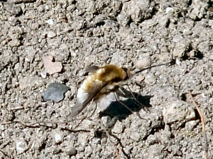 Bee Fly in park