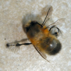 Dead Bee with very hairy legs