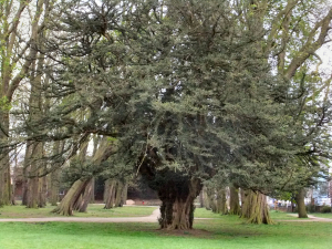 600 yr old Yew