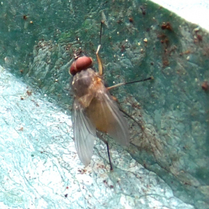 Yellow fly with red eyes