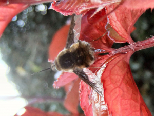Bee Fly sheltering