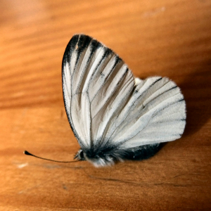 Green-veined white??