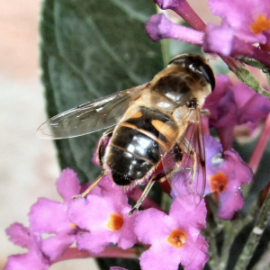 Drone fly on the Buddleia