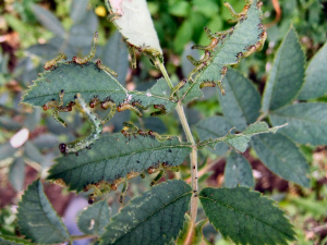 Sawfly larvae on the roses