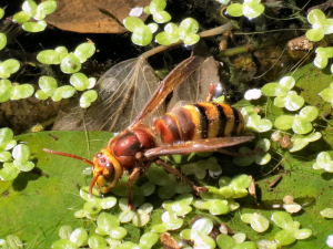 Hornet drinking from pond