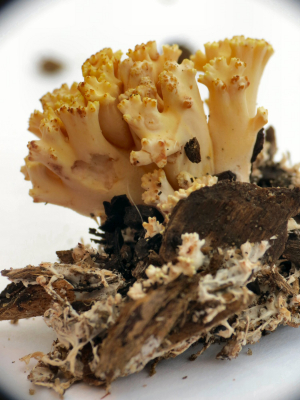 Wood chip Coral Fungus