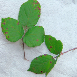 Violet Blackberry Rust