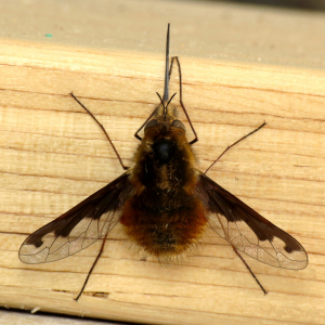 Bombylius major (large bee-fly)
