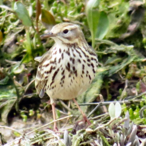 Meadow Pipit?