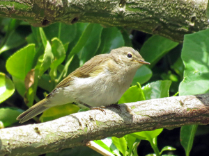 Chiff Chaff or Willow Warbler or?