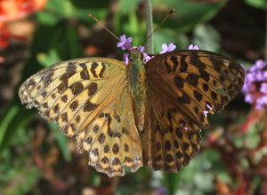 Siver-washed Fritillary