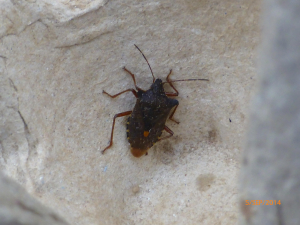Shield Bug 050914