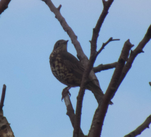 Mistle or Song Thrush??