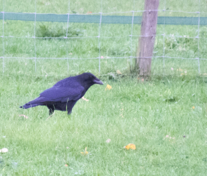 Carrion Crow or Raven??
