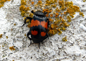 Possible Nicrophorus vespilloides