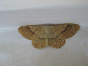 New to me- a wave moth?  But which one?