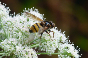 Possible Volucella inanis