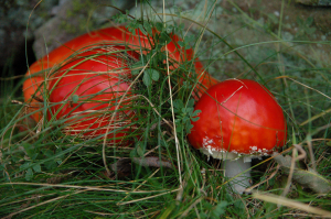 Is this Fly Agaric?