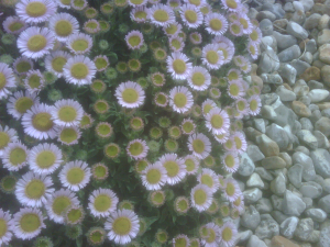 Sea Asters ?