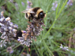 Bee on Lavendar 1