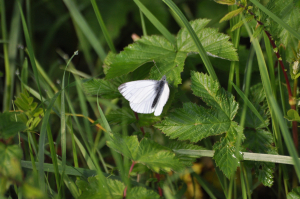 white butterly