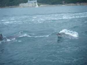 Dolphins in Plymouth Sound