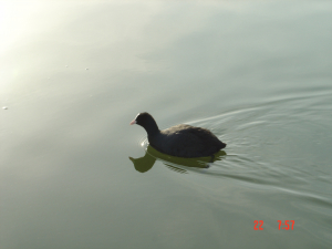 Another Bird swimming