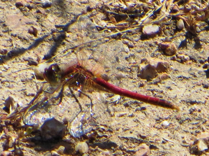 Corsican Dragonfly