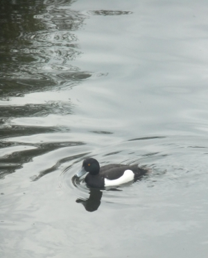 Young Tufted Duck or Scaup