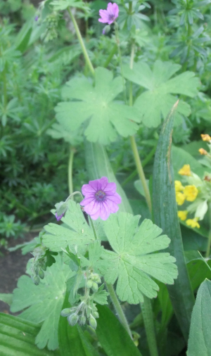 Hedgerow Crane's-bill