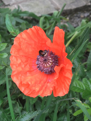 Poppy & Buff-tailed Bumble Bee