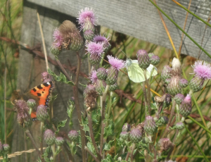 Small tortoiseshell & Green-veined White