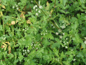 Fool's Watercress