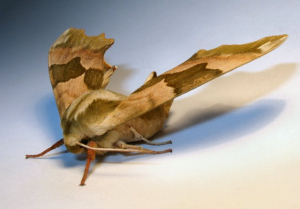 Lime Hawk Moth