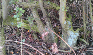 Evidence of past hedge laying activites