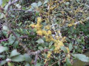 Yellow Lichen on hedgerow,Walls Hill