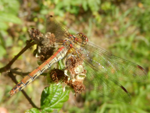Common Darter (Male)