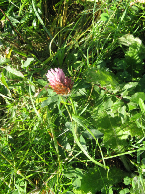 6 Red clover